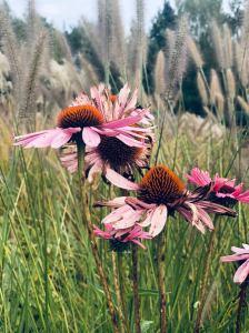 trawy ozdobne jeżówki echinacea